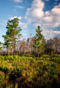 Pine And Clouds. Triple N Ranch, Osceola County FL. von chris kusik