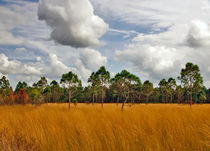 Fall Scene. Three Lakes Wildlife Management Area, Osceola County FL. by chris kusik