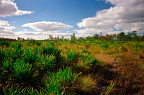 Title:Palmetto And Sedge. Triple N Ranch, Osceola County FL by chris kusik
