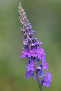 toadflax von mark severn