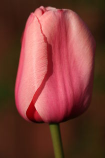 tulip by mark severn