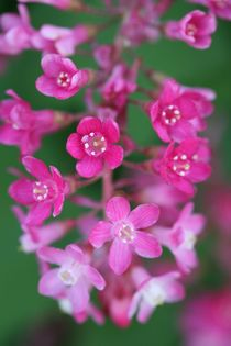 flowering currant by mark severn