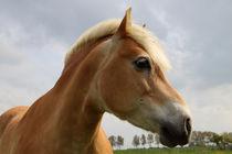 Haflinger Portrait - Portrait of a Haflinger horse  by ropo13