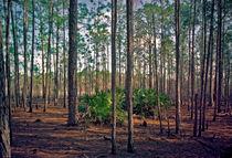 Pine Forest. Split Oak Forest, Orange County FL. by chris kusik