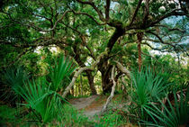 Water Oak. Three Lakes Wildlife Management Area, Osceola County FL. by chris kusik