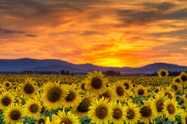 Sunflower Sunset by Mark Kiver