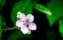Blackberry Bloom von agrofilms