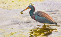 Blue Heron Catch  by agrofilms