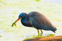 Blue-heron-having-lunch-org