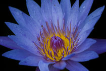 Blue Water Lily von agrofilms