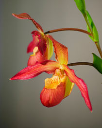 Bucket-orchids-org