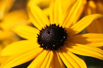 black eye susan by mark severn