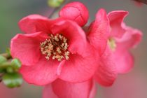 quince chaenomeles by mark severn
