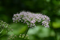 Zarte Blüten von lisa-glueck