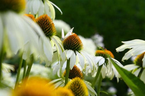 Echinacea-weiss
