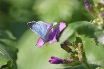 Blauer Falter, Bläuling von Elke Baschkar