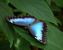 Blue Morpho Butterfly  by chris kusik