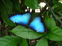 Blue Morpho Butterfly #2. by chris kusik
