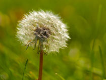 Dandelion Seedlings von Gordon Warlow
