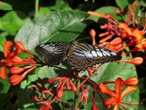 Clipper Butterfly. von chris kusik
