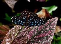 Dark Blue Tiger Butterfly. von chris kusik