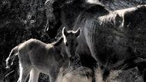 Konik-Pferde in der Millingerwaard von Elke Baschkar