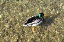 Stockente männlich in kristallklarem lichtdurchfluteten Wasser - mallard duck in crystal clear light flooded water von mateart