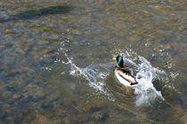 Männliche Stockente hat Spaß in der Sonne - male mallard duck has fun in the sun von mateart