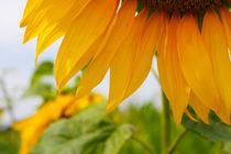 Sonnenblumen von Maria-Anna  Ziehr