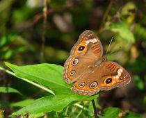 Buckeye Butterfly by chris kusik