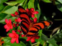 Banded Orange Butterfly. von chris kusik