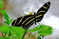 Zebra Longwing Butterfly. von chris kusik