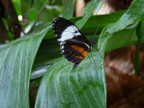 Sapho Longwing Butterfly #2. by chris kusik