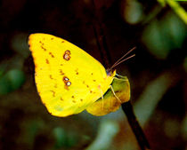 Sulpher Butterfly. by chris kusik