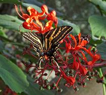 Three Tailed Tiger Swallowtail Butterfly.  von chris kusik
