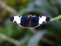 Sapho Longwing Butterfly. by chris kusik