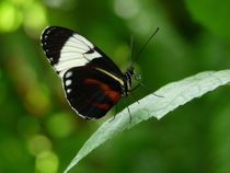 Sapho Longwing Butterfly #3. by chris kusik
