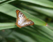 White Peacock Butterfly. by chris kusik