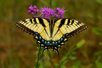 Yellow Tiger Swallowtail Butterfly. by chris kusik