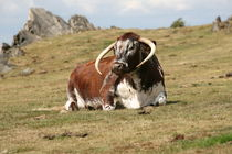 english longhorn cattle by mark severn
