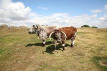 english longhorn cattle von mark severn