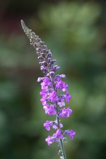 purple toadflax  by mark severn