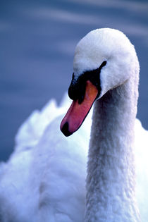 Swan Eye 724 by Patrick O'Leary