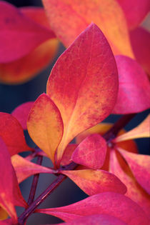 Japanese Barberry 728 by Patrick O'Leary