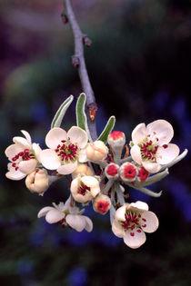 731af-weeping-willow-leaved-pear-980242-003-v-10-v-17-v-25
