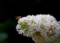 The hoverfly has landed by Renata Davies