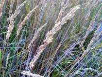 Sommergräser von Cornelia Greinke