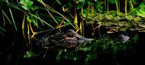 Alligator Portrait. Three Lakes Wildlife Management Area, Osceola County Florida von chris kusik
