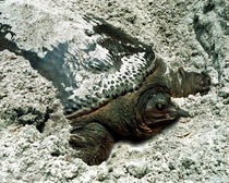Nesting Softshell Turtle. Hal Scott Preserve, Orange County Florida. von chris kusik