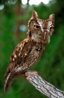 Screech Owl. Seminole County Florida. von chris kusik